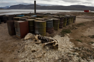 A dead polar bear lies next to aviation fuel drums