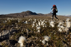 Hiking past Arctic Cotton flowers in Grottedalen