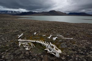 A musk ox skeleton on the shore of Centrum Sø